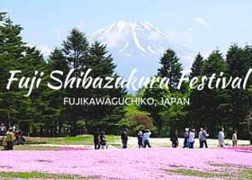 Fuji Shibazakura Festival | Japan