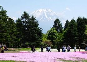 Fuji Shibazakura Festival | Fujikawaguchiko, Japan