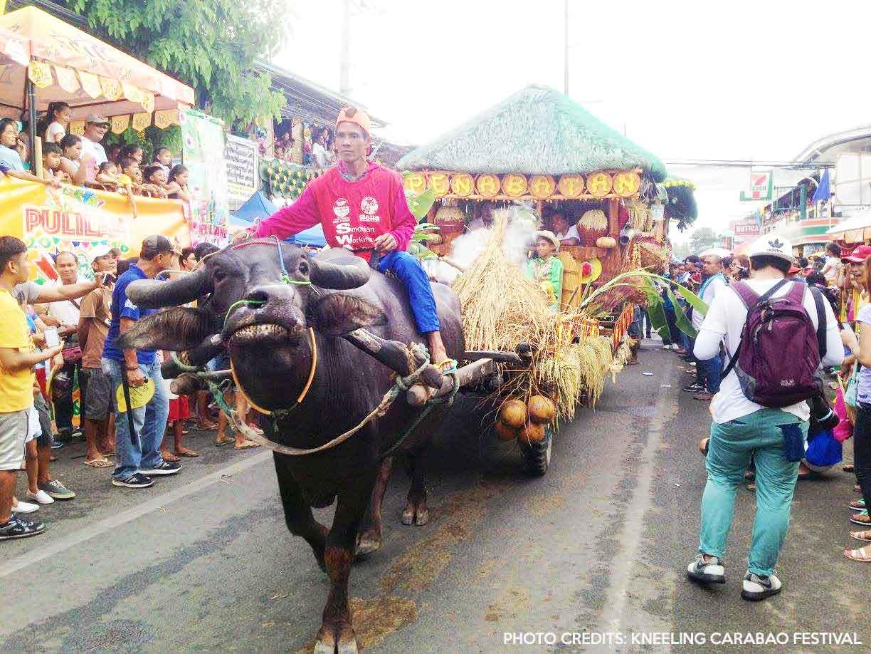 kneeling carabao festival