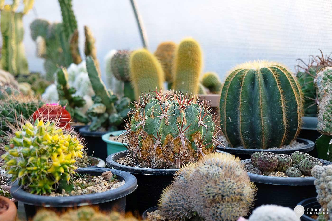 cactus philippines