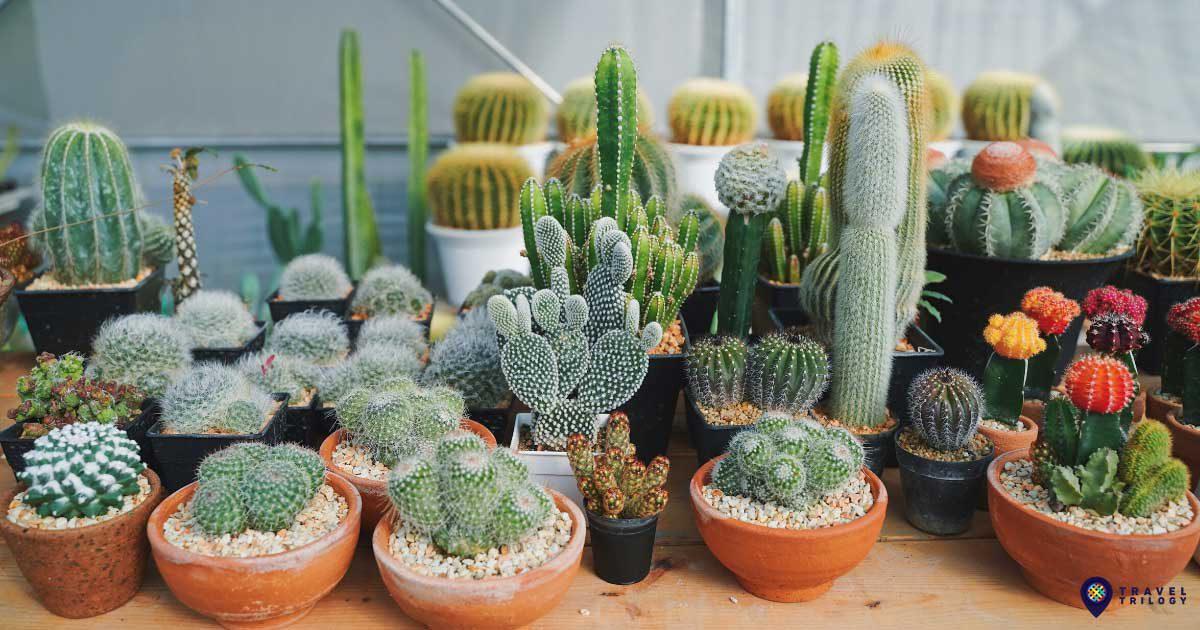 cactus-cover