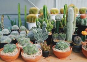 Cacti and Succulents | Expanding Benguet's Agritourism